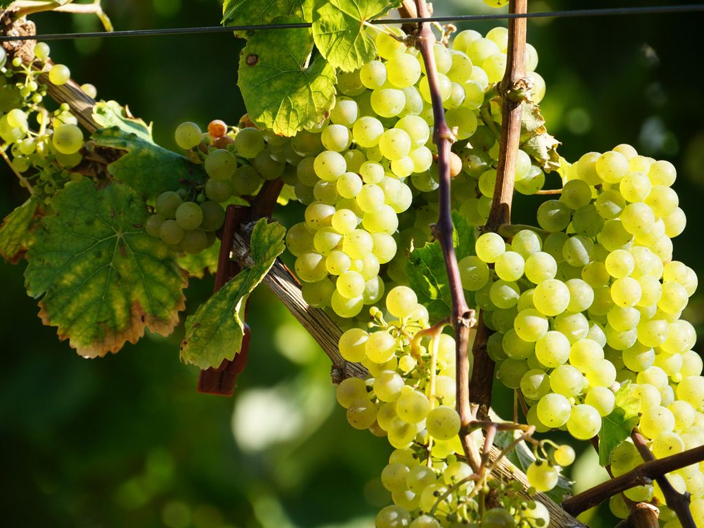 sun-dappled grapes in a serene vineyard