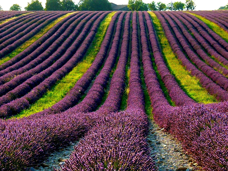 provence fields