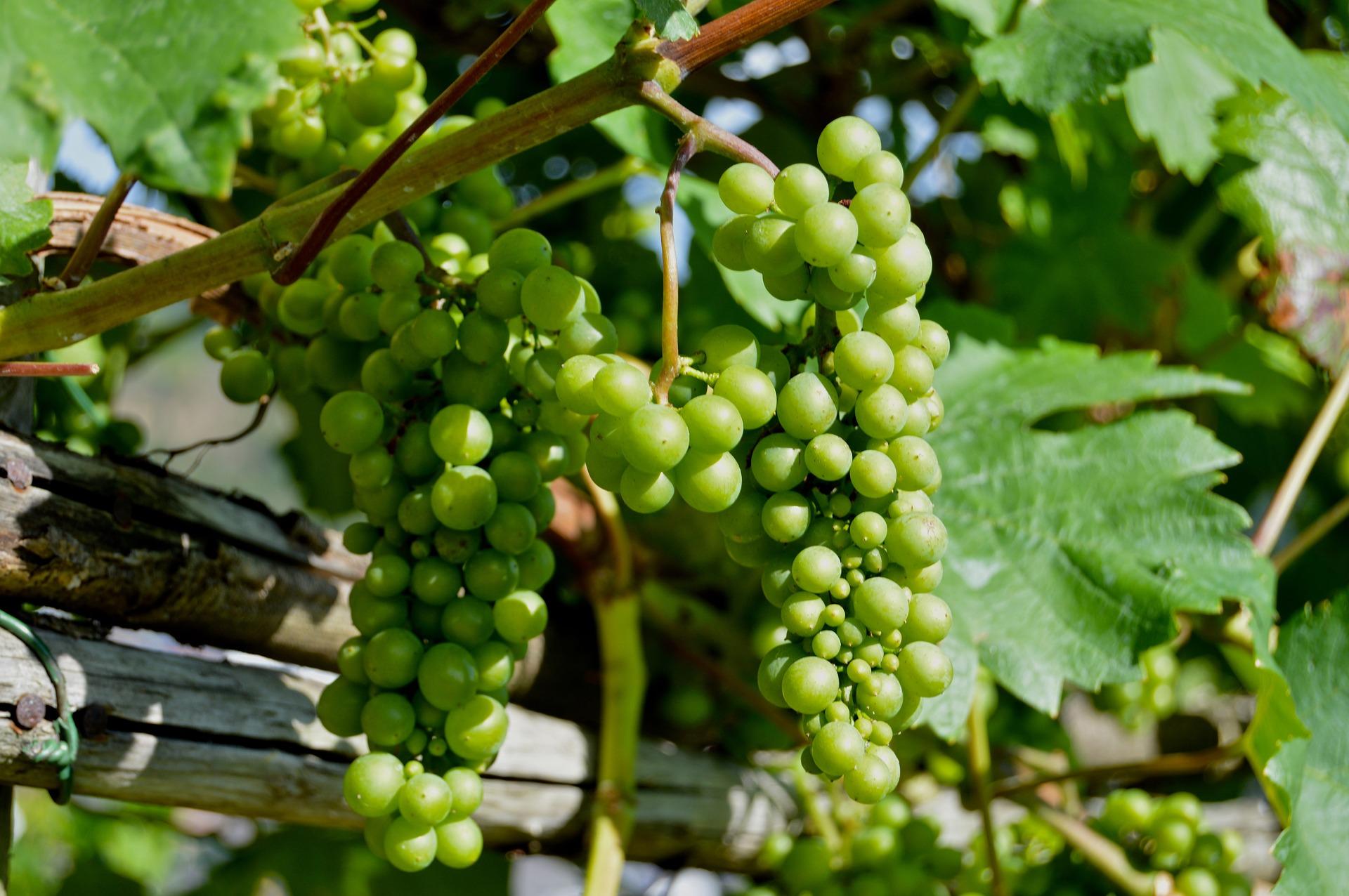 White wine vineyards