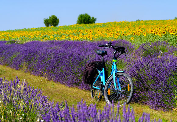 Lavender fields - Textbox Image
