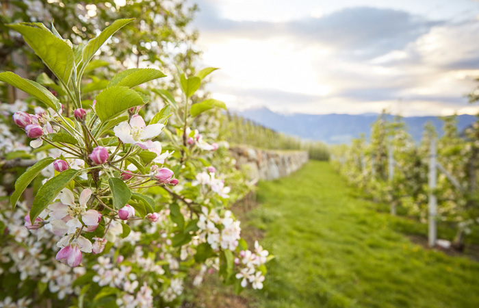 Orchards and vineyards South Tyrol