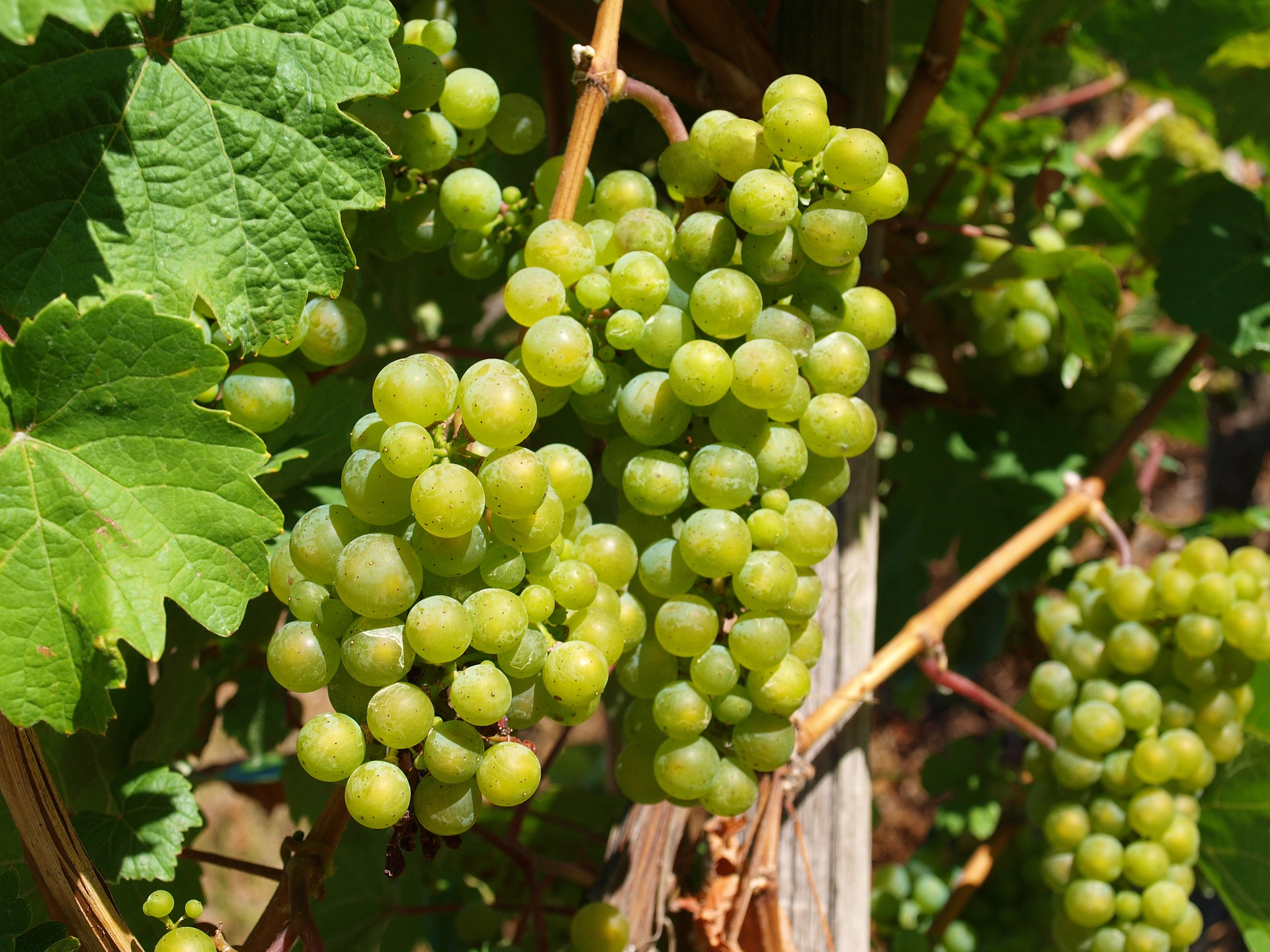 Green grape vineyard