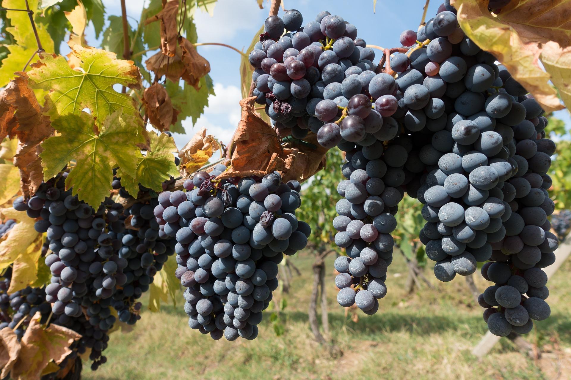 Red wine vieyward