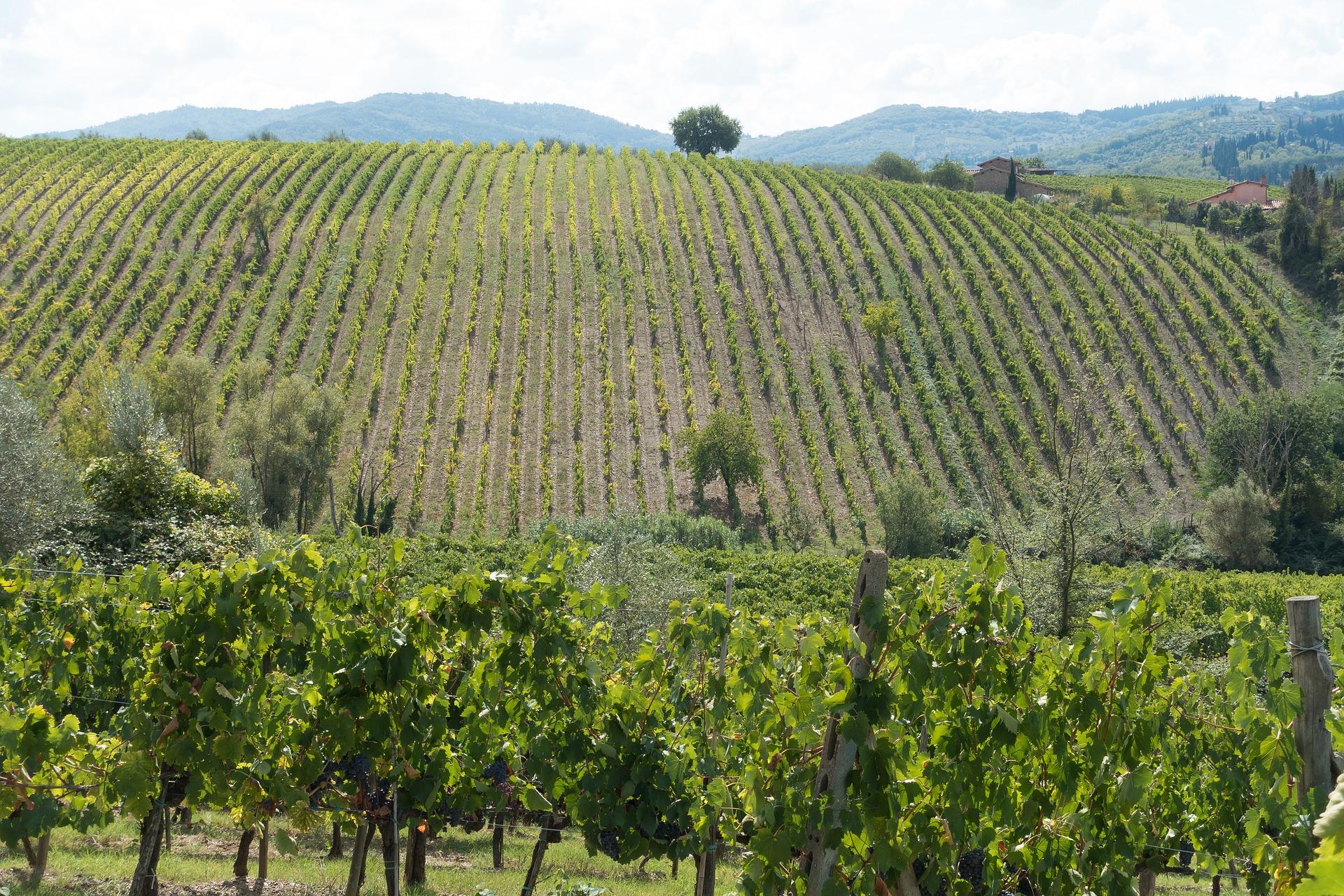 wine-growing-vineyard-italy
